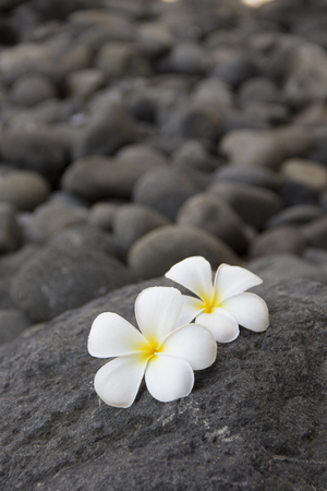 flores exoticas: Exotic white flowers on the dark grey stone. Wellness and harmony symbol Foto de archivo