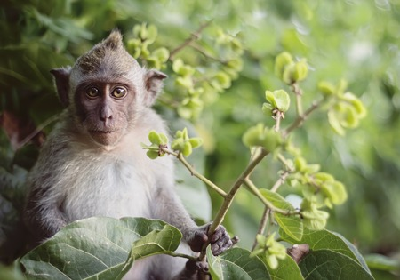 Long tailed macaque monkeys baby relaxing in tree Standard-Bild