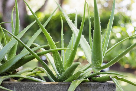 Close up Aloe Vera Plant, outdoor pots