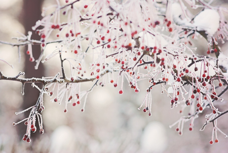 Hawthorn red berries under snow frozen Stock Photo