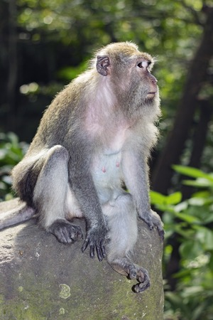 tailed: Long tailed Macaque monkey on Bali, Indonesia Stock Photo
