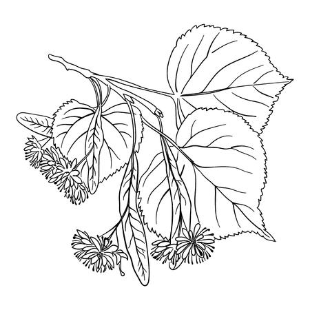 feuille arbre: Linden Blossom, dessin à la main libre