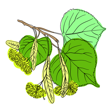 plant to drink: Linden Blossom, free hand drawing Illustration