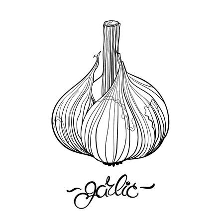 garlic: Ajo. Dibujado a mano bulbo de ajo y las letras. Dibujo de esquema