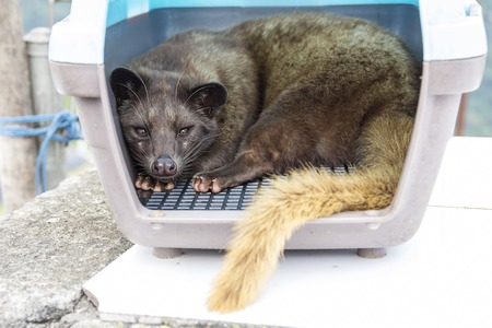 Asian palm civet in carrier. Civet coffee, or kopi luwak in Indonesian, is made from beans that have been extracted from the excrement of civet. 1 kg of roasted beans can fetch as much as 130USD in Indonesia and five times more overseas.