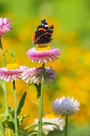 Red Admiral (Vanessa atalanta) butterfly feeding on Strawflower (Xerochrysum bracteatum), shallow depth of focus.