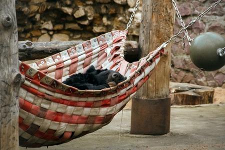 Asian black bear is sleeping in a hammock. Moscow Zoo. 写真素材