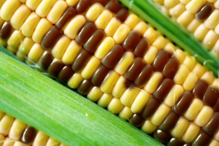 genetically modified crops: gmo corn