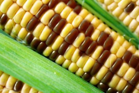 genetically: gmo corn