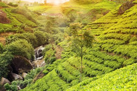 tea plantation sunset photo