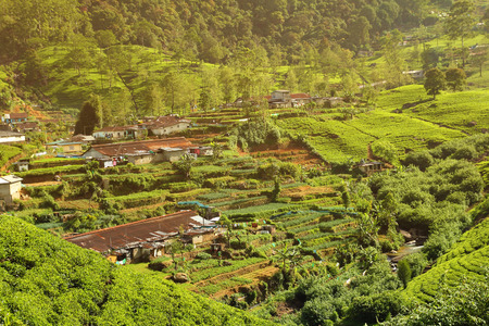 tea plantation village photo