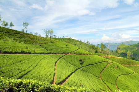 tea plantation landscape Stock Photo - 26883835