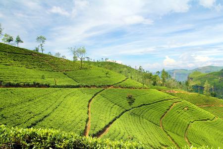 theeplantage landschap