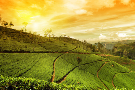 ceylon: tea plantation landscape Stock Photo