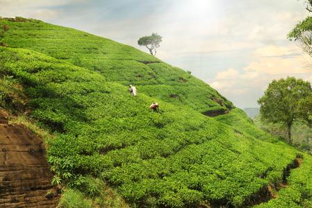 assam tea: tea plantation hills