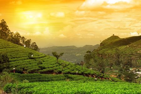 the national flag of kenya: plantación de té paisaje puesta de sol