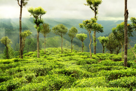 tea garden with trees photo