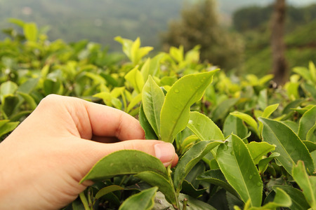 plucking: male hand picking green tea