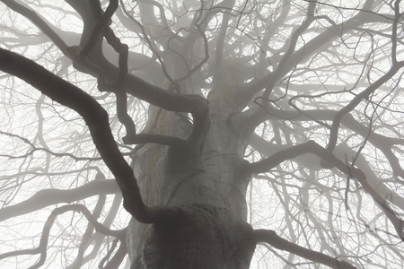 spooky tree: spooky tree branches in fog Stock Photo