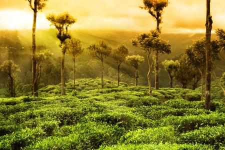 紅茶農園風景 写真素材
