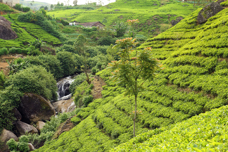 tea plantation with waterfall