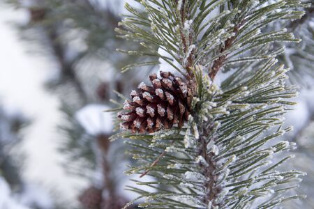 fir branch: fir branch with pine cone and snow