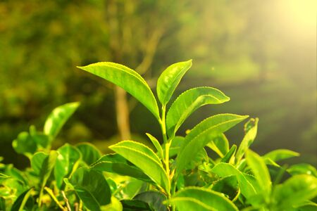 growing tea leaves closeup Stock Photo