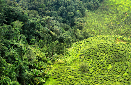 tea plantation and forest