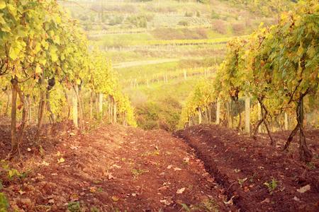 sunset in autumn vineyard