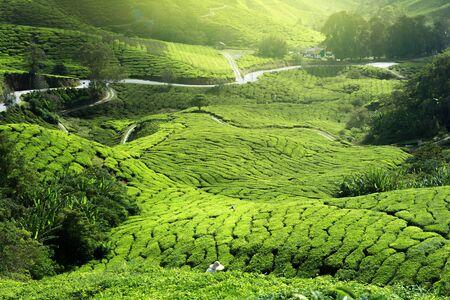 tea plantation in mist Stock Photo