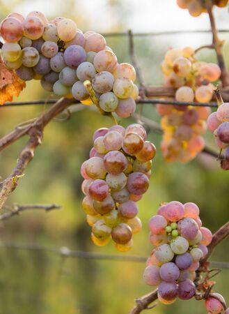 ripe grapes in vineyard Stock Photo