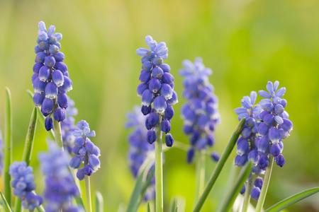 blue bells spring flowers Standard-Bild