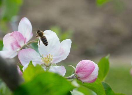 honey bee pollination Standard-Bild