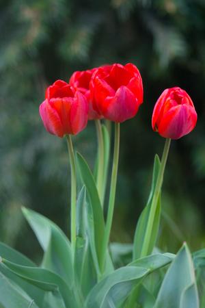tulips spring flowers