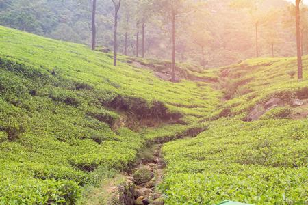 sunset on tea plantation Standard-Bild