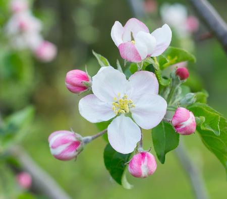 apple tree blossom flower closeup Standard-Bild