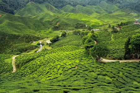tea plantations landscape