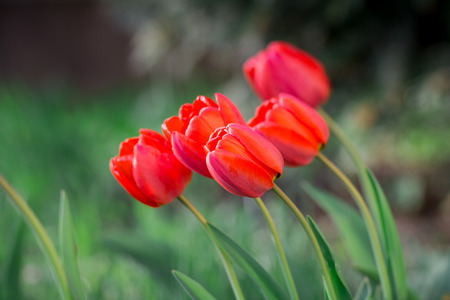 red tulips Stock Photo - 79638005
