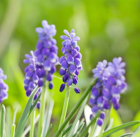 bluebells close-up