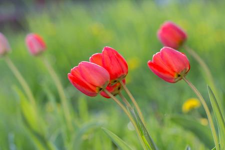 rode tulpen in de tuin Stockfoto