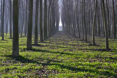 poplars: trees iin campaign