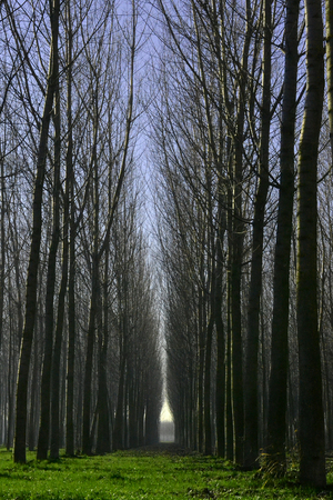 poplars: trees at the countryside Stock Photo