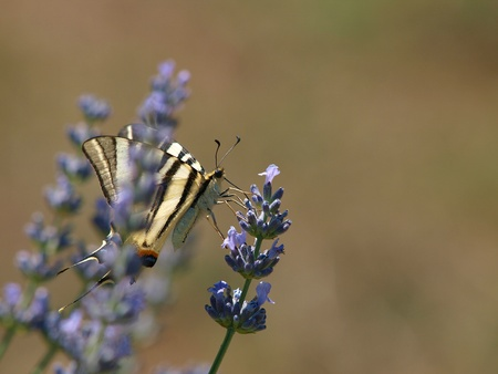 yellow butterfly on the lavander branch        photo