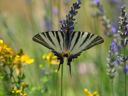 yellow butterfly on the lavanda branch       photo