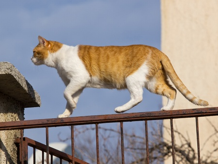 gele kat lopen op het hek
