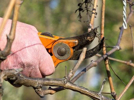 cutting branches in vineyard at spring time photo