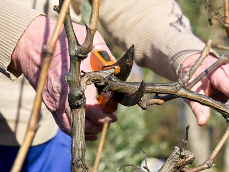 cutting old branches in the vineyard