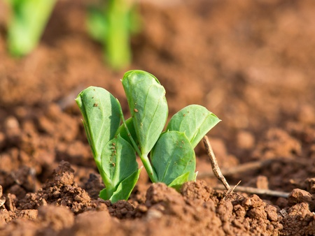 unfold: young plants of green peas