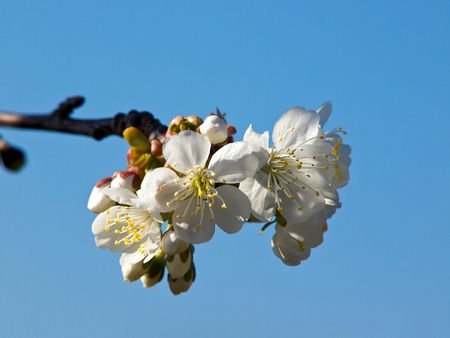 cherry tree branch with white flowers Stock Photo - 12788105