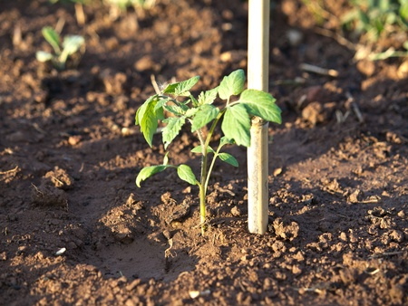 young tomato plant in the soil photo